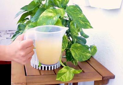 biljka djubrivo kvasac
