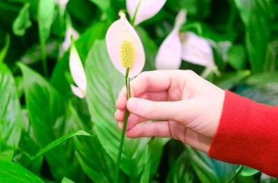 Šta privlači u dom cvet ženska sreća_1931756423