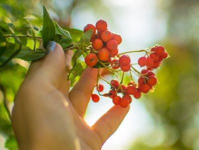 Sorbus aucuparia_1153898416